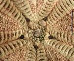 Araeosoma coriaceum (adapical area)