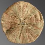 Araeosoma coriaceum (aboral)