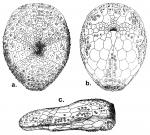 Argopatagus planus (test)