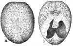 Argopatagus vitreus (aboral + oral)
