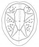 Breynia australasiae (aboral)