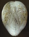 Breynia elegans (aboral)
