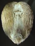 Breynia elegans (oral)