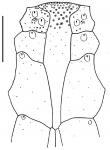 Breynia elegans (labrum)