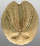 Brisaster latifrons (aboral)