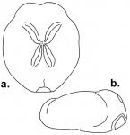 Brissopsis bengalensis (aboral + lateral)