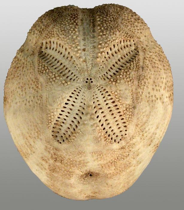 Brissopsis columbaris (aboral)