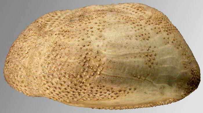 Brissopsis columbaris (lateral)
