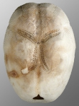 Brissopsis cf. luzonica (aboral)