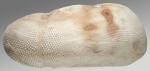 Brissopsis cf. luzonica (side)
