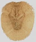 Brissopsis luzonica (aboral)