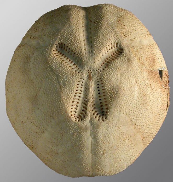 Brissopsis micropetala (aboral)