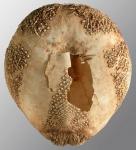 Brissopsis micropetala (oral)