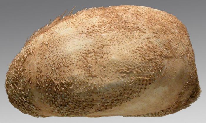 Brissopsis micropetala (lateral)