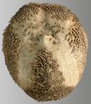 Brissopsis pacifica (oral)
