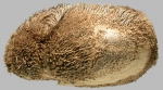 Brissopsis pacifica (lateral)