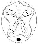Brissopsis pacifica (aboral)