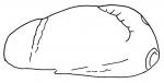 Brissopsis parallela (lateral)