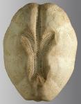 Brissopsis similis (aboral)