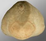 Brissopsis similis (posterior)