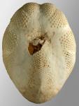 Brissopsis similis (oral)