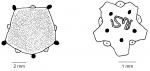 Clypeasteroida (apical systems)