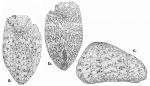 Cystocrepis setigera (test)