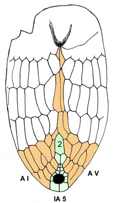 Cystocrepis setigera (oral plating)
