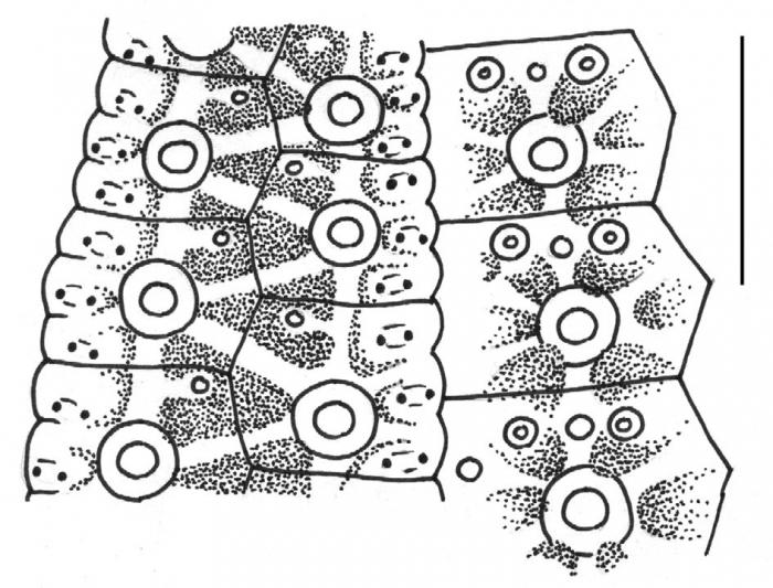 Desmechinus rufus (ambulacral plates)