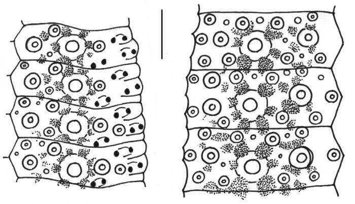 Desmechinus rufus (ambulacral + interambulacral plates)