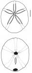 Echinolampas ovata (aboral + oral)