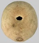Echinolampas ovata (oral)