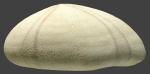 Echinolampas sternopetala (lateral)