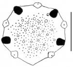 Echinolampas sternopetala (apical system)