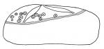 Eupatagus valenciennesi (lateral)