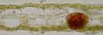 Punctaria latifolia