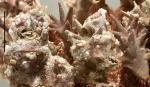 Goniocidaris (Goniocidaris) tubaria (epibionts on spines)