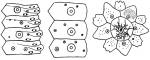 Goniopneustes pentagonus (coronal plates and apical disc)