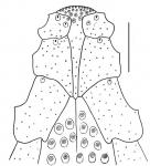 Granobrissoides hirsutus (labrum)