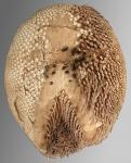 Granobrissoides hirsutus (oral)
