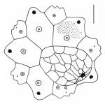 Gymnechinus pulchellus (apical system)