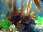 Saccorhiza polyschides