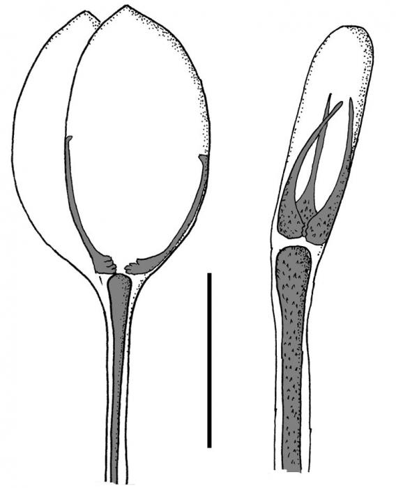 Hapalosoma (dactylous pedicellariae)