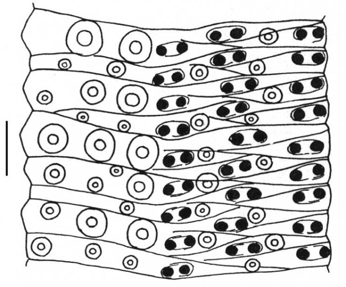 Holopneustes inflatus (ambulacral plates)