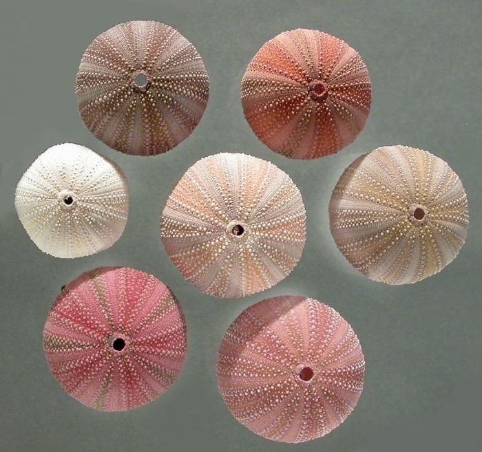 Holopneustes inflatus (test color variation)