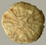 Hygrosoma hoplacantha (aboral)