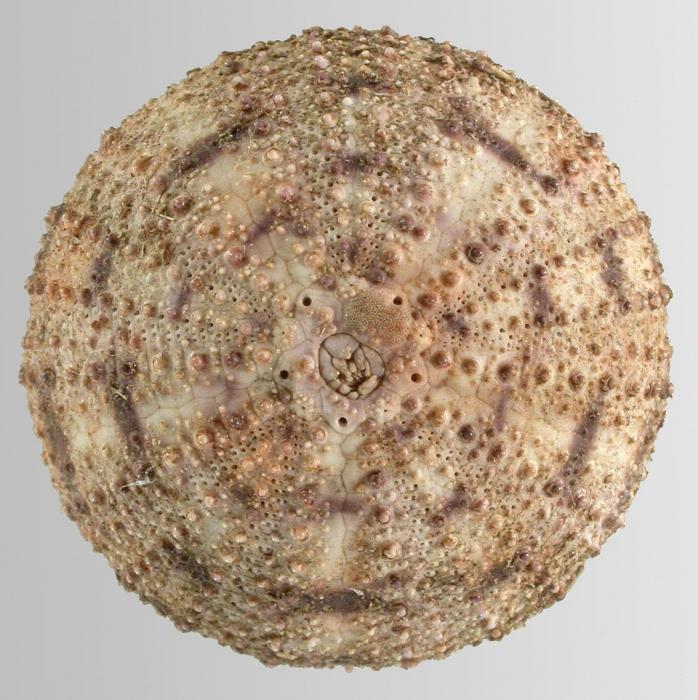 Lytechinus pictus (aboral)