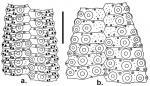 Lytechinus semituberculatus (ambulacral + interambulacral plates)
