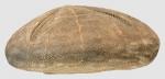 Meoma grandis (lateral)