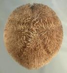 Meoma grandis (aboral)